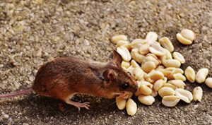 Field mouse eating peanuts