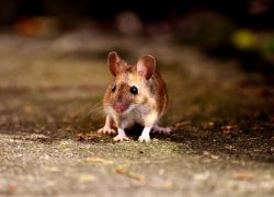 Best Ways to Get Rid of Mice
