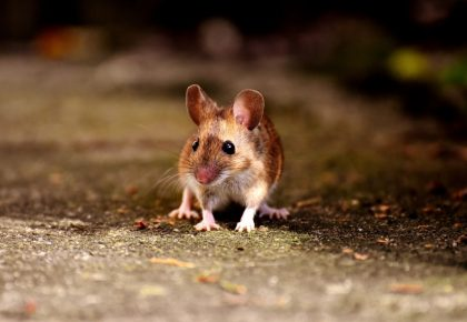 curious field mouse