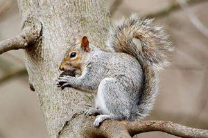 Eastern Gray Squirrel   Photo By Mathew Schwartz  