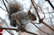 Eastern Grey Squirrel in tree