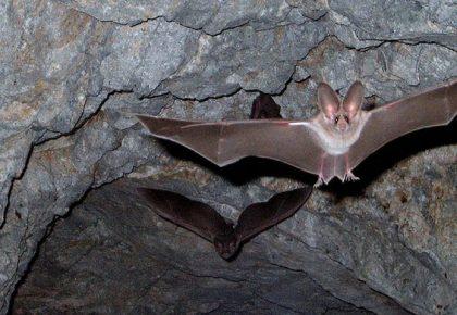 Leaf Nosed Bats