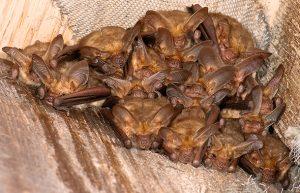 Pallid Bat Roosting