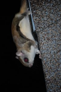 Southern Flying Squirrel On A Roof