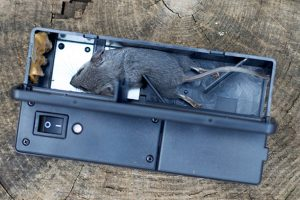 Dead Mouse in Electronic Trap