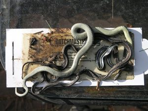 snakes in sticky trap