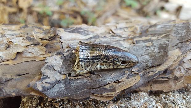 Lizard Eaten By Rodent