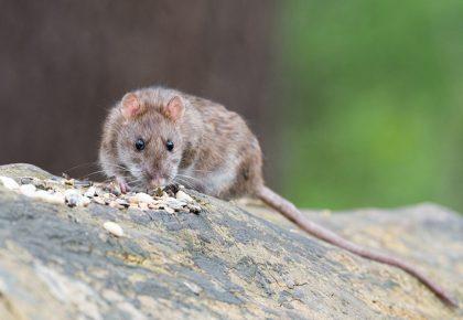 brown rat eating seeds