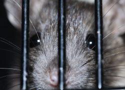Best Live Rat Trap