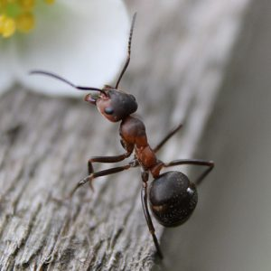 Carpenter Ant Worker