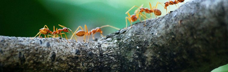 Red Ants On A Branch